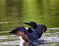 Κοινό χτύπημα φτερών χωριατών Gavia immer Στοκ Εικόνα