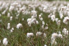 Κοινό angustifolium Eriophorum cottongrass στο υγρό λιβάδι Στοκ Εικόνες