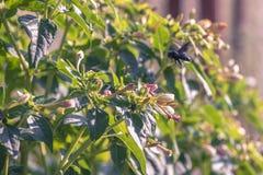 Κοινό bumblebee στα λουλούδια στοκ φωτογραφίες
