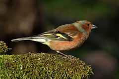 Κοινό Chaffinch (αρσενικό) Fringilla Coelebs - Στοκ εικόνα με δικαίωμα ελεύθερης χρήσης