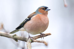 Κοινό chaffinch Στοκ Φωτογραφίες