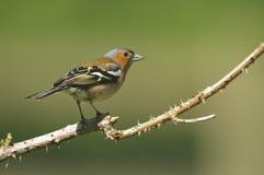 Κοινό Chaffinch (Fringilla coelebs) στοκ φωτογραφίες