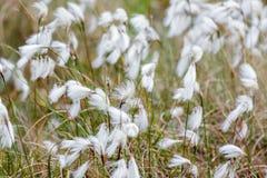 Κοινό Cottongrass Cottonsedge ή βαμβάκι ελών Στοκ Φωτογραφία