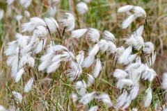 Κοινό Cottongrass Cottonsedge ή βαμβάκι ελών Στοκ εικόνα με δικαίωμα ελεύθερης χρήσης