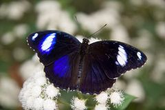 κοινό eggfly πεταλούδων Στοκ εικόνα με δικαίωμα ελεύθερης χρήσης