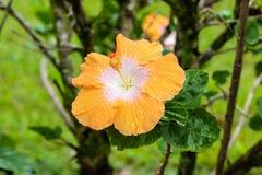 Κοινό eichhornia λουλουδιών Hyachinth νερού crassipes στο βοτανικό κήπο σε Hilo, στο μεγάλο νησί της Χαβάης Τα πέταλα παρουσιάζου στοκ εικόνες με δικαίωμα ελεύθερης χρήσης