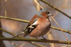 Κοινό finch, φωτεινό πουλί κάθεται σε έναν λεπτό κλάδο και εξετάζει το φωτογράφο Πουλιά πόλεων ανασκόπηση που θολώνεται Κινηματογ στοκ φωτογραφίες με δικαίωμα ελεύθερης χρήσης