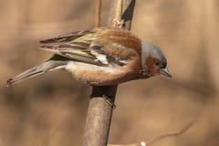 Κοινό finch, φωτεινό πουλί κάθεται σε έναν λεπτό κλάδο και εξετάζει το φωτογράφο Πουλιά πόλεων ανασκόπηση που θολώνεται Κινηματογ στοκ φωτογραφία με δικαίωμα ελεύθερης χρήσης