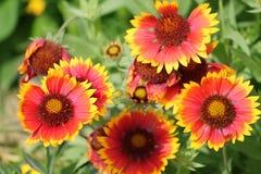 Κοινό gaillardia ή blanketflower ή aristata Gaillardia Στοκ εικόνα με δικαίωμα ελεύθερης χρήσης