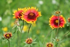 Κοινό gaillardia ή blanketflower ή aristata Gaillardia Στοκ Φωτογραφίες