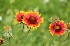 Κοινό gaillardia ή blanketflower ή aristata Gaillardia Στοκ Εικόνα