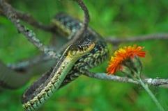 κοινό gartersnake στοκ εικόνες με δικαίωμα ελεύθερης χρήσης