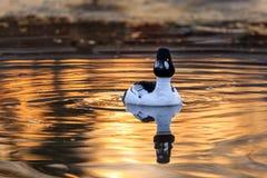 Κοινό goldeneye στο χρυσό νερό Στοκ φωτογραφίες με δικαίωμα ελεύθερης χρήσης