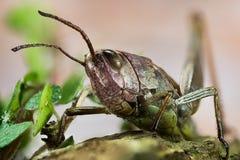 Κοινό Grasshopper τομέων, Grasshopper τομέων, Grasshopper, brunneus Chorthippus Στοκ Εικόνες