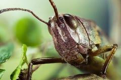 Κοινό Grasshopper τομέων, Grasshopper τομέων, Grasshopper, brunneus Chorthippus Στοκ Εικόνα