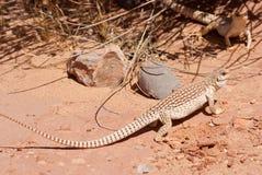 κοινό iguana ερήμων Στοκ φωτογραφίες με δικαίωμα ελεύθερης χρήσης