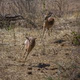 Κοινό Impala στο εθνικό πάρκο Kruger, Νότια Αφρική στοκ φωτογραφία