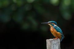 Κοινό Kingfisher& x28 Alcedo atthis& x29 , αρσενικό Στοκ Εικόνα