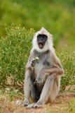 Κοινό Langur, entellus Semnopithecus, πίθηκος με τα φρούτα στο στόμα, βιότοπος φύσης, Σρι Λάνκα Στοκ Εικόνες