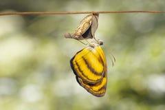 Κοινό lascar hordonia Pantoporia πεταλούδων που προκύπτει από το CH Στοκ φωτογραφία με δικαίωμα ελεύθερης χρήσης