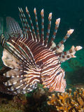 Κοινό Lionfish Στοκ φωτογραφίες με δικαίωμα ελεύθερης χρήσης