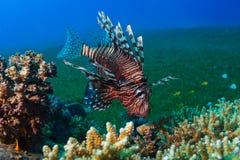 Κοινό Lionfish (Pterois volitans) κολυμπά κάτω από ένα σκληρό κοράλλι στο α στοκ φωτογραφίες