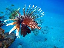Κοινό Lionfish, Pterois volitans Στοκ εικόνα με δικαίωμα ελεύθερης χρήσης