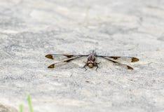 Κοινό lydia Plathemis λιβελλουλών Whitetail που στηρίζεται στο Groundd στοκ φωτογραφία