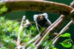 Κοινό marmoset ή jacchus Callithrix στοκ φωτογραφίες με δικαίωμα ελεύθερης χρήσης