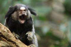 Κοινό marmoset στοκ εικόνες