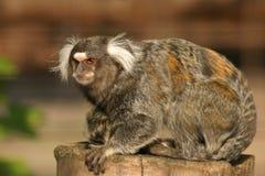 κοινό marmoset Στοκ Φωτογραφία