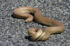 κοινό molesnake στοκ εικόνες