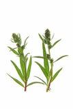 Κοινό mugwort (Artemisia vulgaris) Στοκ φωτογραφία με δικαίωμα ελεύθερης χρήσης