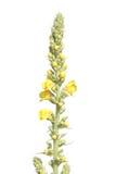 Κοινό mullein ή thapsus Verbascum που απομονώνεται στο άσπρο υπόβαθρο Στοκ Φωτογραφίες