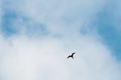 κοινό nighthawk Στοκ Φωτογραφία