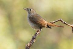 Κοινό Nightingale, (megarhynchos Luscinia) Στοκ εικόνες με δικαίωμα ελεύθερης χρήσης