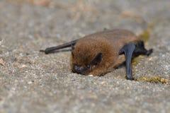 Κοινό noctula Noctule Nyctalus στοκ φωτογραφία με δικαίωμα ελεύθερης χρήσης