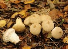 κοινό perlatum lycoperdum μυκήτων puffball Στοκ Φωτογραφίες