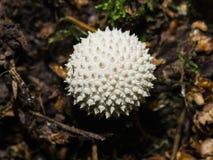 Κοινό perlatum Puffball ή Lycoperdon, εδώδιμο άγριο μανιτάρι, μακρο, εκλεκτική εστίαση Στοκ εικόνα με δικαίωμα ελεύθερης χρήσης