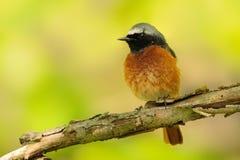 Κοινό phoenicurus Redstart - Phoenicurus στοκ εικόνα