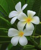 κοινό plumeria ονόματος frangipani λουλουδιών Στοκ Φωτογραφίες