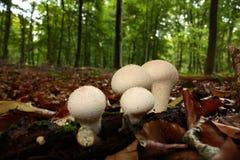 Κοινό puffball στο δάσος Στοκ Εικόνα
