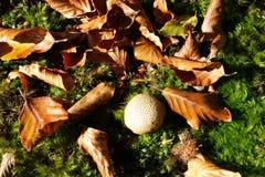 Κοινό puffball στο δάσος Στοκ φωτογραφία με δικαίωμα ελεύθερης χρήσης