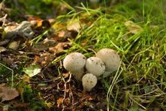 Κοινό Puffball - Lycoperdon perlatum Στοκ φωτογραφία με δικαίωμα ελεύθερης χρήσης