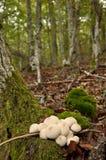 Κοινό Puffball (Lycoperdon Perlatum) Στοκ Εικόνες