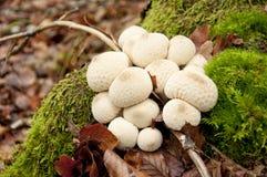 Κοινό Puffball (Lycoperdon Perlatum) Στοκ Φωτογραφία
