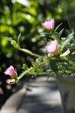 Κοινό Purslane στο ροζ Στοκ εικόνες με δικαίωμα ελεύθερης χρήσης