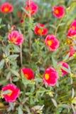 Κοινό Purslane Verdolaga, Pigweed, λίγο Hogweed, Pusley Στοκ Φωτογραφία