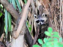 Κοινό racoon ή βορειοαμερικανικό ρακούν Στοκ εικόνες με δικαίωμα ελεύθερης χρήσης
