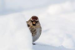 κοινό redpoll Στοκ Φωτογραφίες